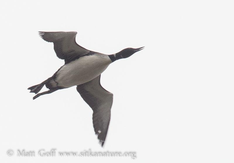 Common Loon Flying Overhead