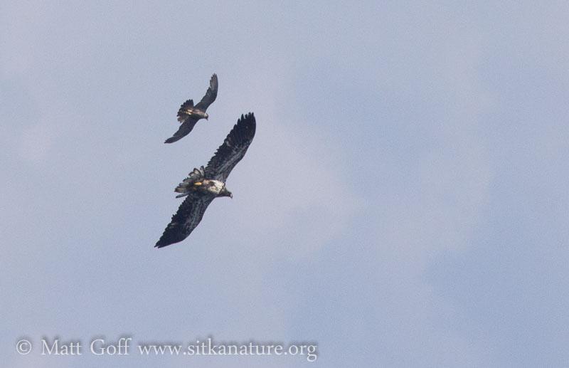 Peregrine Falcon Chasing Bald Eagle