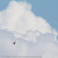 Peregrine Falcon and Clouds