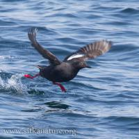 Pigeon Guillemot Taking Flight