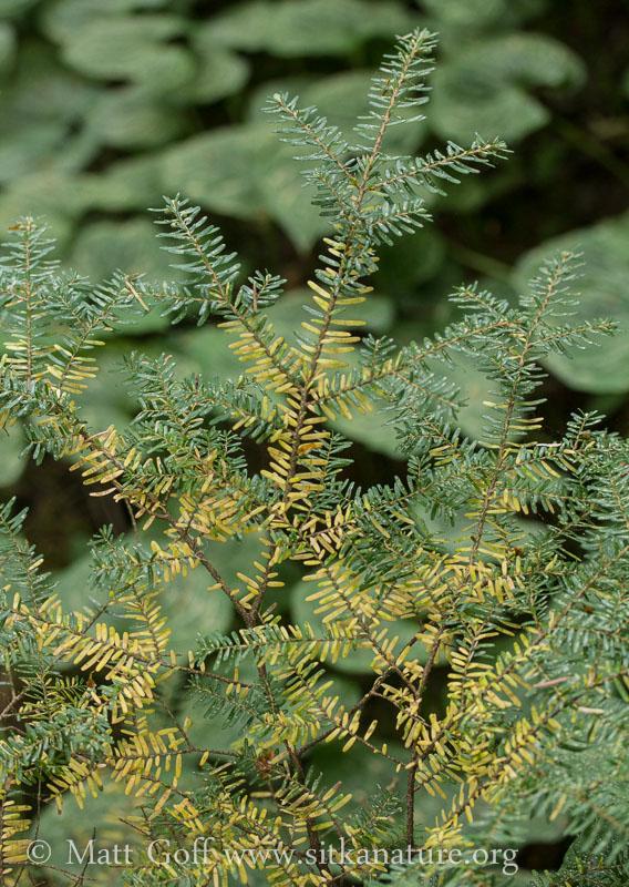 Yellowing Hemlock (Tsuga heterophylla)
