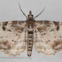 Spruce Cone Looper (Eupithecia mutata)?