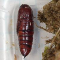 Lepidoptera Pupa