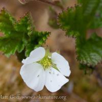 Cloudberry (Rubus chamaemorus) Flower