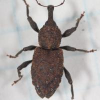 Conifer Seedling Weevil  (Steremnius carinatus)