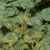 Yellowing Hemlock (Tsuga heterophylla)