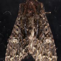 Mniotype tenera (unconfirmed)