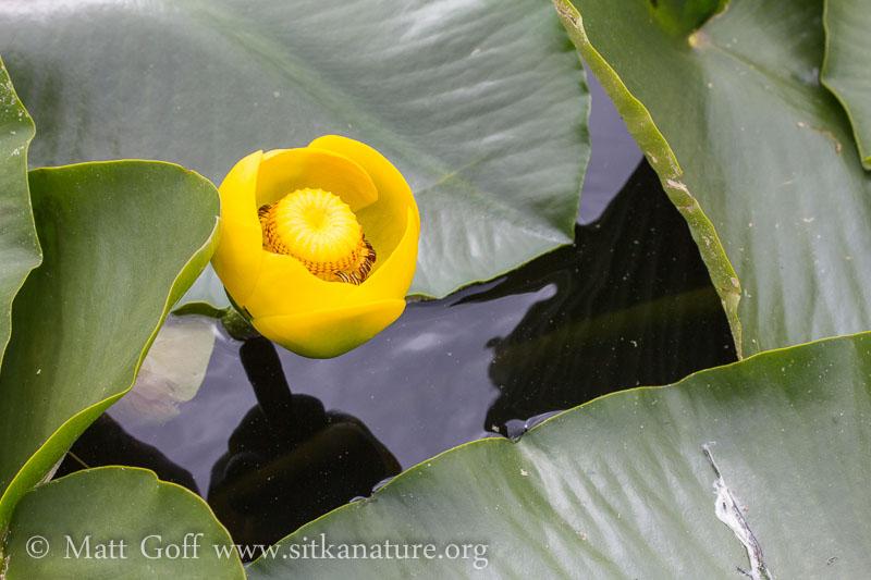 Yellow Pond Lily (Nuphar polysepala) Flower