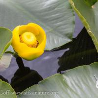 Yellow Pond Lily (Nuphar polysepala) Flower