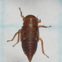 Oncopsis leafhopper Nymph