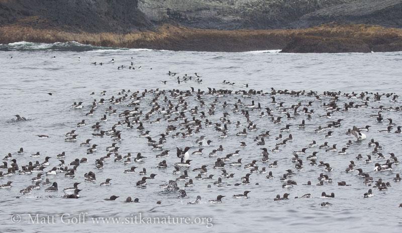 Murre Flock