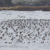 Murre Flock