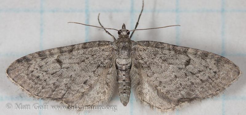 Eupithecia species