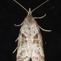 Lotisma trigonana (preliminary)