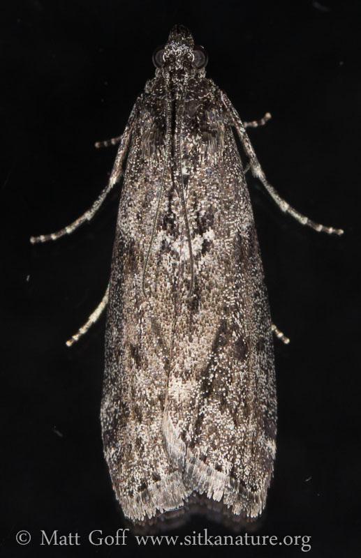 Fir Coneworm (Dioryctria abietivorella) - unconfirmed