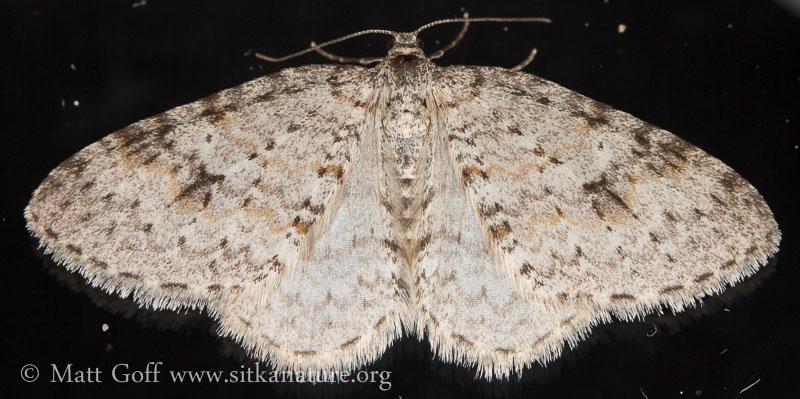 Pearsall's Carpet Moth (Venusia pearsalli)
