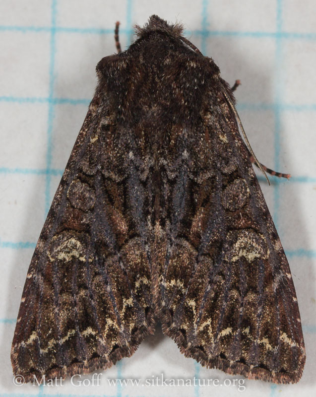 Unidentified Noctuid