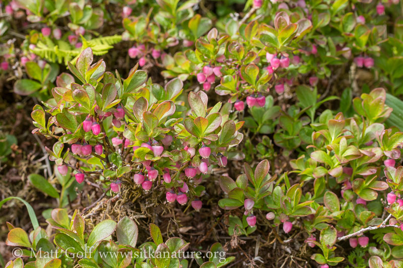 Dwarf Blueberry (Vaccinium caespitosum) Flowers