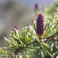 Developing Mountain Hemlock (Tsuga mertensiana) Cone