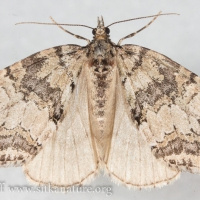 July Highflyer (Hydriomena furcata) - unconfirmed