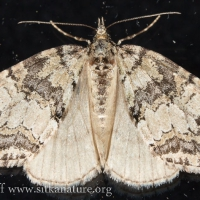 July Highflyer (Hydriomena furcata) - unconfirmed