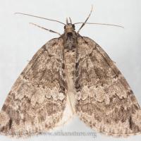 Hydriomena renunciata (uncertain)