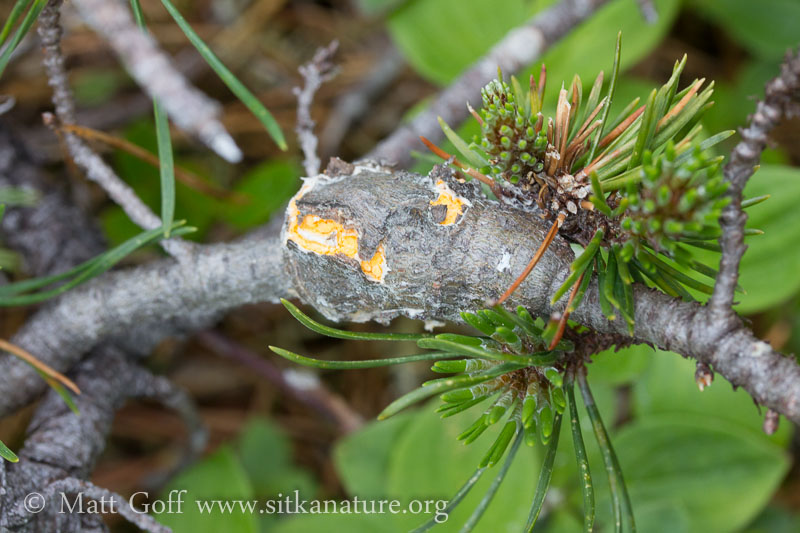 Western Gall Rust (Endocronartium harknessii)