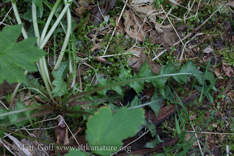 Dandelion (Taraxacum officianalis)