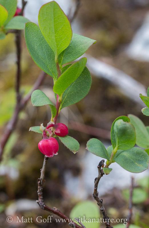 Bog Blueberry (Vaccinium uliginosum)