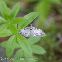 Small Moth (Eupithecia sp)