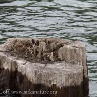 Mew Gull Nest