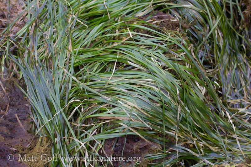 Toothed Surfgrass (Phyllospadix serrulatus)