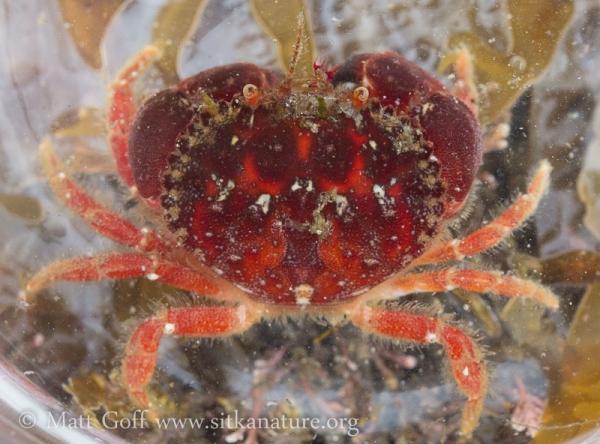 Pygmy Rock Crab (Glebocarcinus oregonensis)