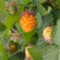 Ripe Salmonberry (Rubus spectabilis)