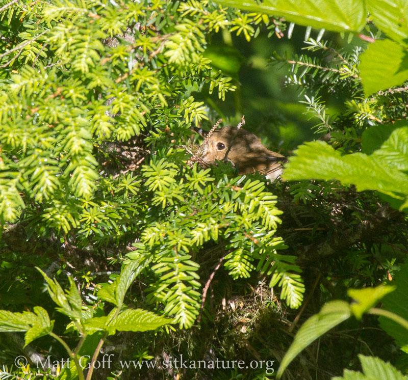 Swainson's(?) Thrush in Nest