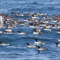 Murres on the Water