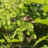 Swainson's(?) Thrush in Nest