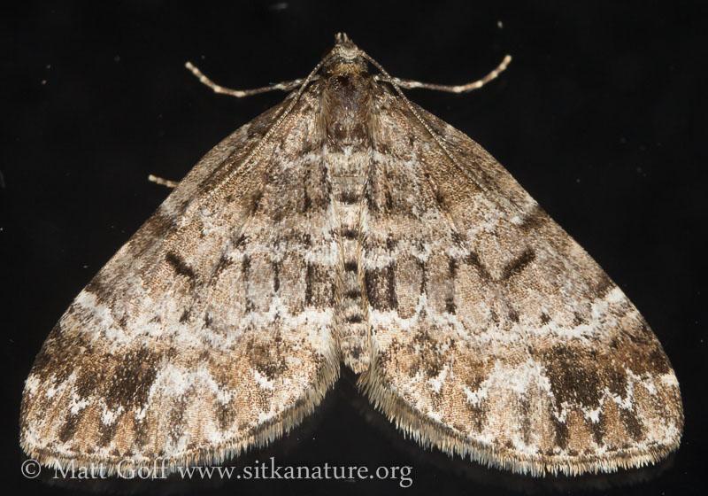 Perizoma grandis (preliminary)