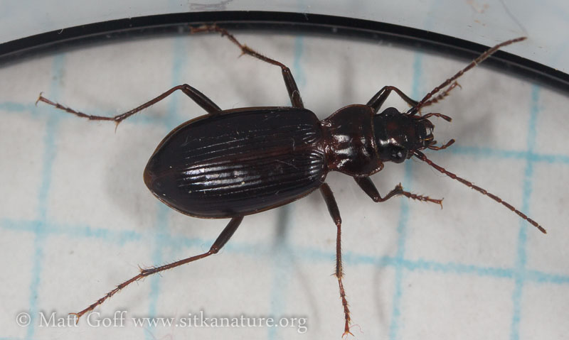 Ground Beetle (Nebria sp)