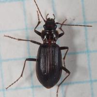 Ground Beetle (Nebria sp)