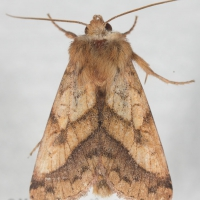 Purple-Lined Sallow (Pyrrhia exprimens)
