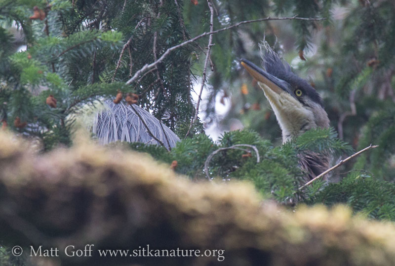 Great Blue Heron Nest