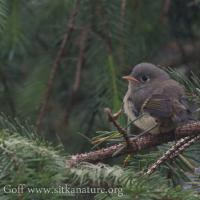 Fledgling Ruby-crowned Kinglet