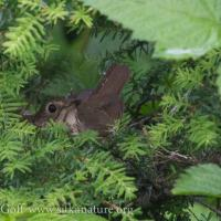 Swainson's Thrush on Nest