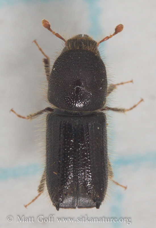 Bark Beetle (?)