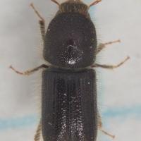 Bark Beetle (?)