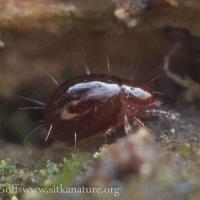 Small Mite