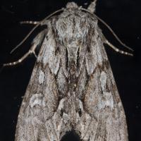 Hyppa contrasta (preliminary)
