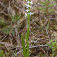White Bog-orchid (Platanthera dilatata)