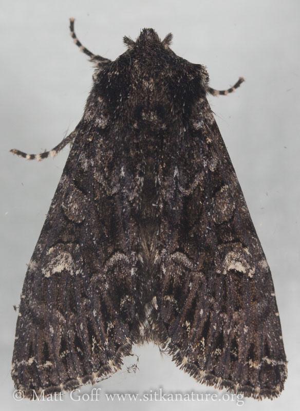 Dark Noctuid